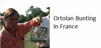 Ortolan-bunting-France-protected-species