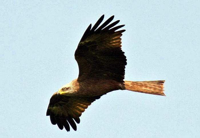 About The Black Kite Milan Noir In France