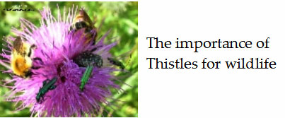 Insects-and-bees-need-thistles-France