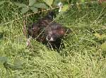 The-rare-and-endangered-European-mink-in-France