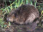 Beaver-a-sucess-story-in-conservation-in-France.