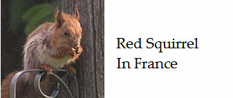 Red-squirrel-in-France