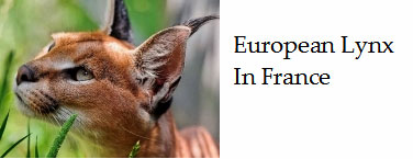 French-Lynx-and-where-it-is-found