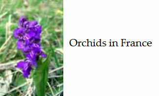 Wild-native-orchids-of-france