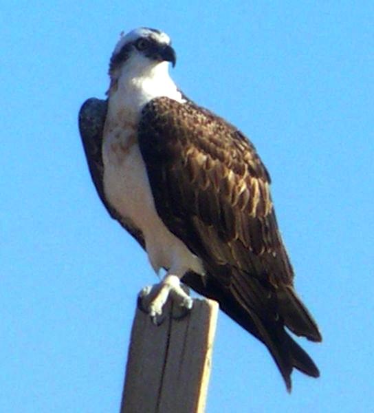 Osprey In France