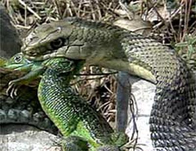 Montpellier Snake France