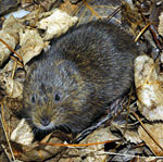 Southern-water-vole-France
