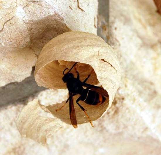 how to find european hornet nest