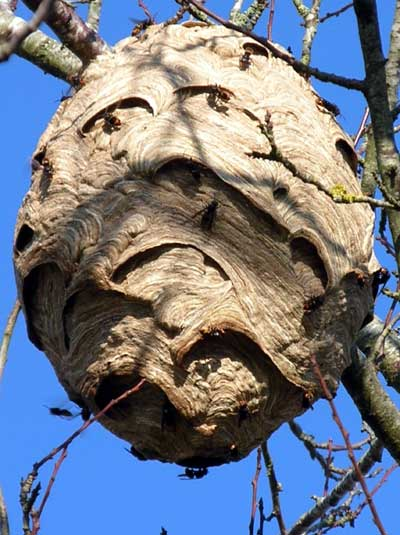 Day Five - No More Lynches Asian-hornet-nest-in-tree_France