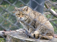 Wild-cat-in-france-Chat-Forestier