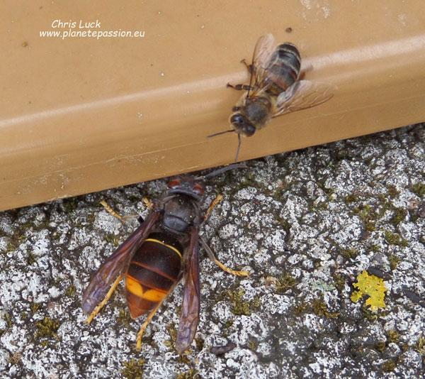Related Keywords & Suggestions for hornets asian Queen White Hornet