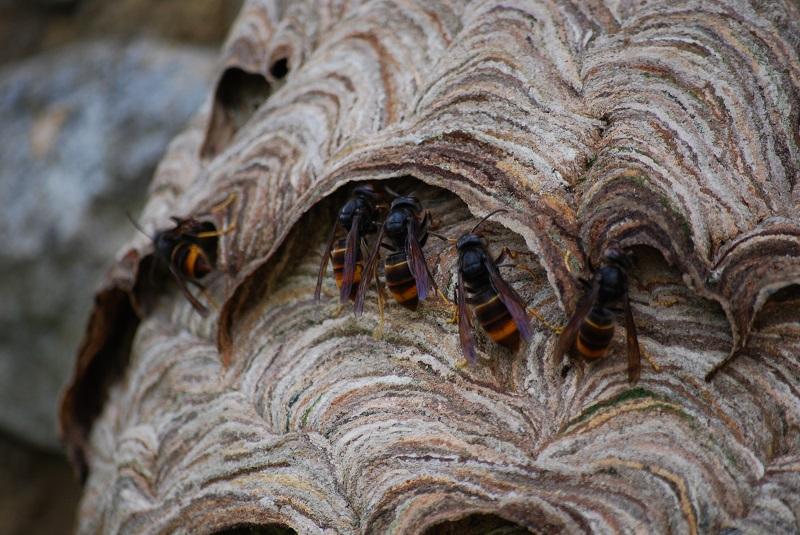 Asian Hornet Vespa Velutina Nigrithorax Frelon