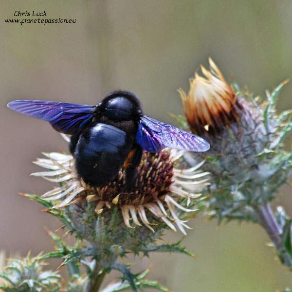 Abeille Charpentiere Photo Carpenter Bee France