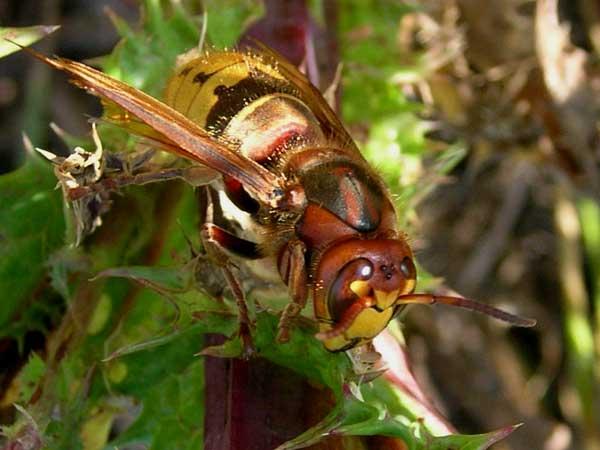 Hornet - Vespa crabro     Frelon or Gu  234 pe frelon or GuichardQueen Hornet Insect